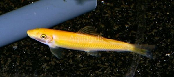 Peștele galben vioi este girinoheilul.