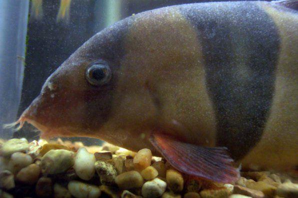 Оодиниоза на фотографијата со риби