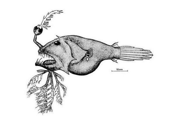 длабоки морски риболовци