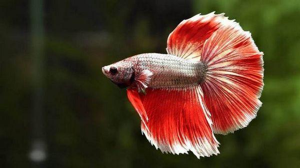 лабірінтовие рибки