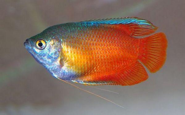 ляліус лабіринтова рибка