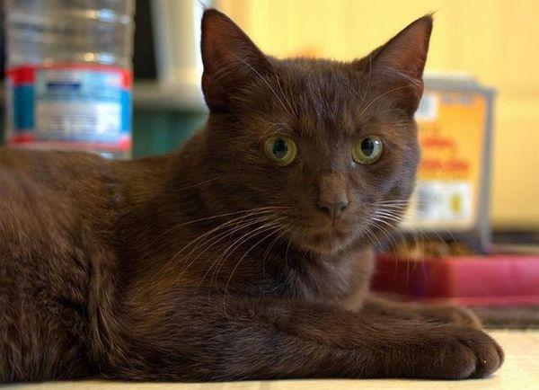 Ориенталска хаванска котка
