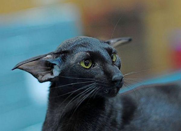 Ориенталска порода котки