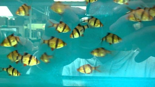 Много барбуси в син аквариум.