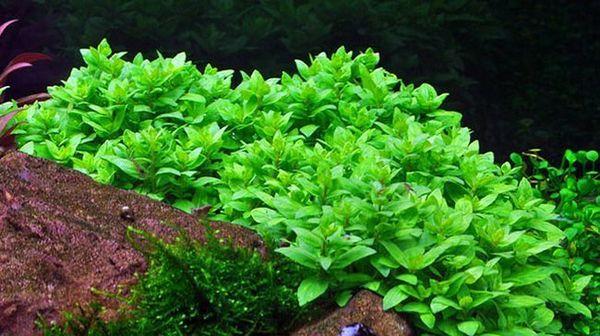 Cechy zawartości pełzającej rośliny akwariowej staurogin