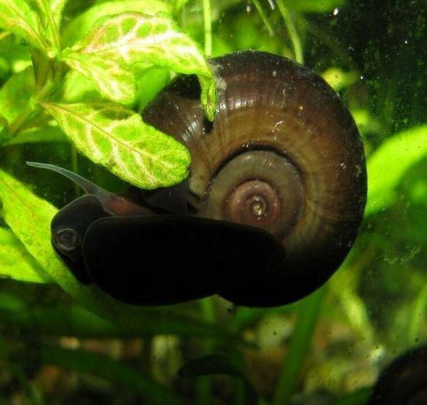 Funkce udržování akvarijního šnekového cívky