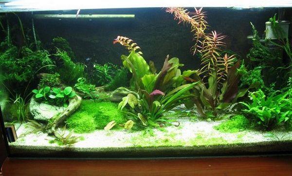 Зелените в аквариума