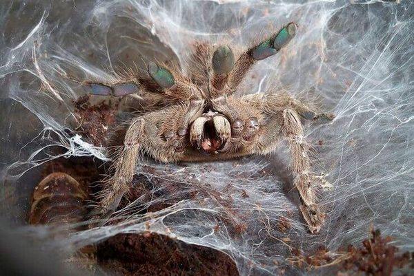павук птицеед хижак