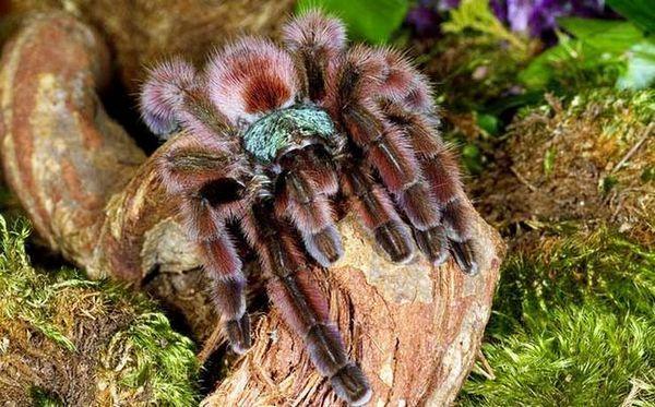 Павуки-птахоїди відрізняються непоганим довголіттям