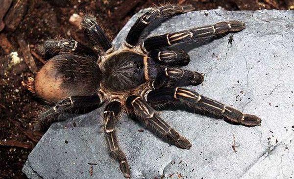Павуки добре приживуться в квартирі