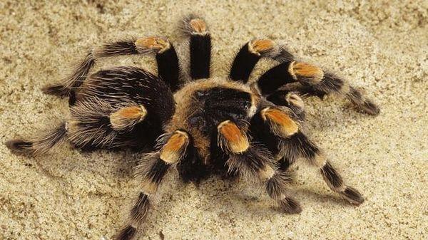 паук тарантула песак