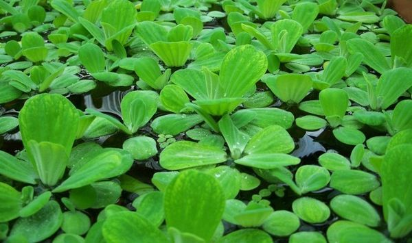 Pływające rośliny akwariowe