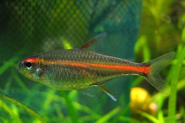 Svetluška ryby.