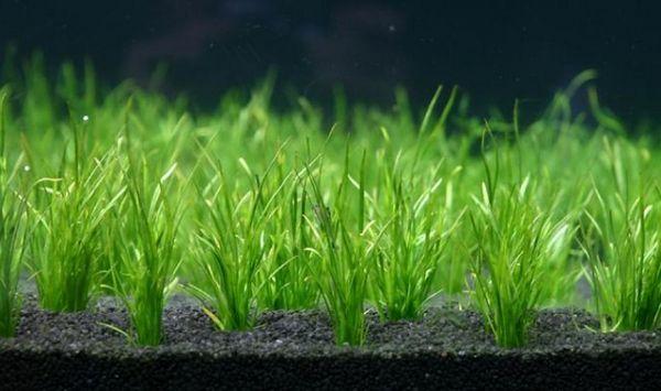 Podwodny trawnik od lileopsis
