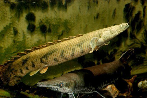 Polypterus endlicheri endlicheri.