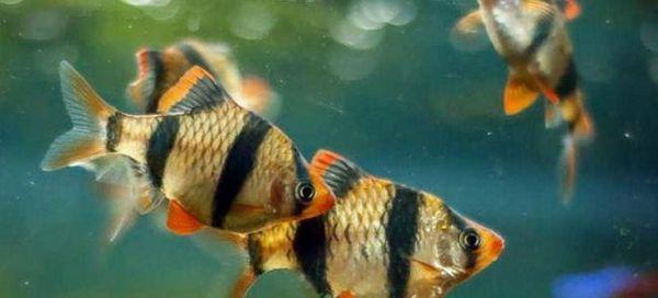 Райета риба суматрански барбуси