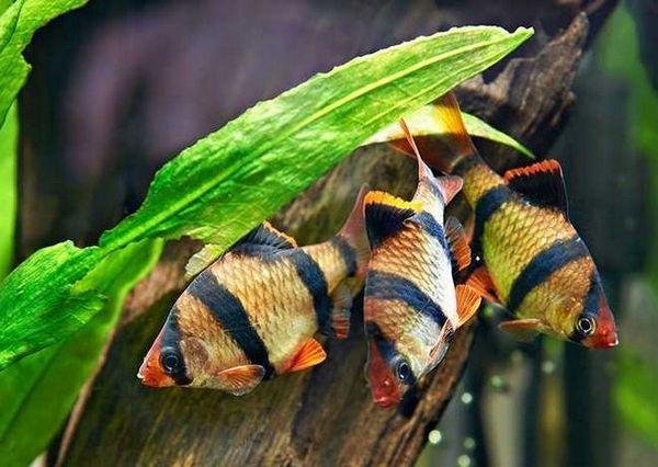три суматрански бръмбари