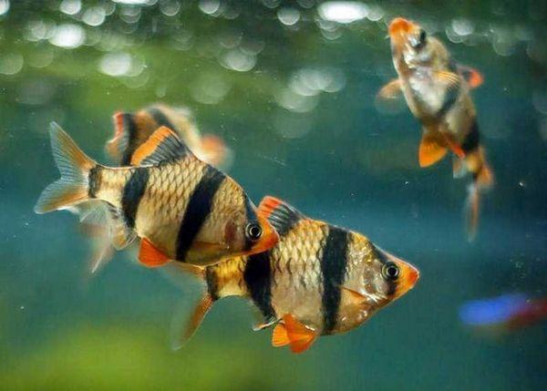 барбекю в аквариума