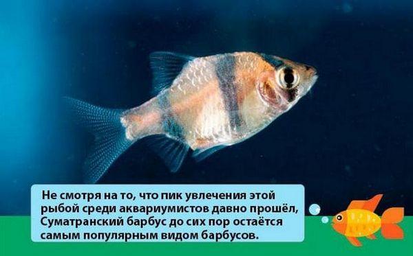 Аквариумни риби Barbus Tetrazona