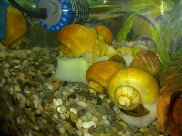 Група охлюви на дъното на аквариума.