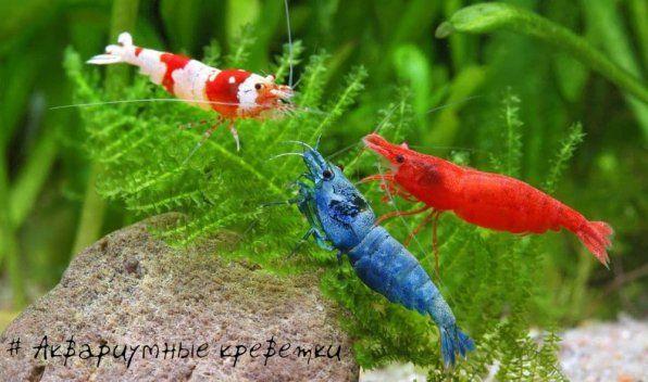 Акваріумні креветки види