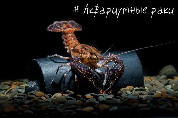= Популарни видови на ракчиња од аквариум =