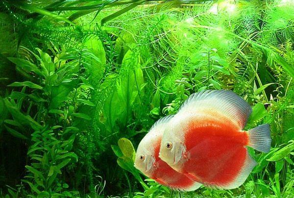 Тропічні рибки дискус.