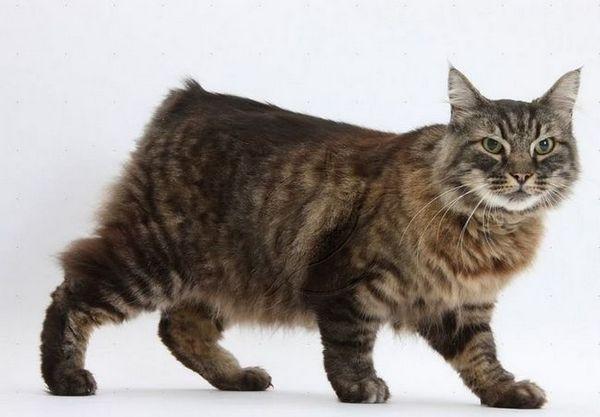 Порода котка кимрик