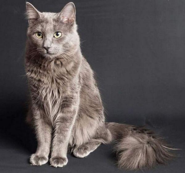 Котка порода нибелунг или руска синя котка с дълга коса