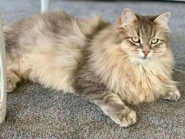 Порода котки - сибирска гора