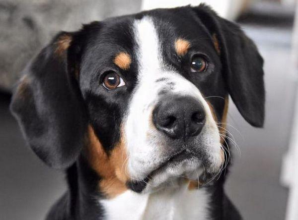 Куче порода entlebucher планинско куче