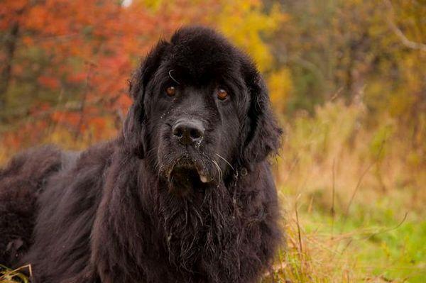 Нюфаундлендска порода кучета