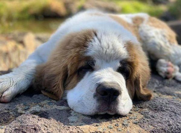 Порода кучета сейнт бернар