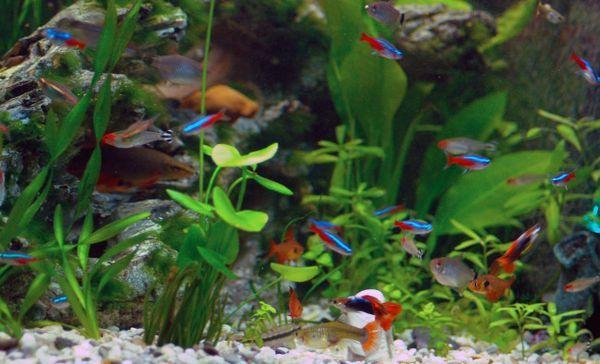 Zajednički akvarij s guppijima.