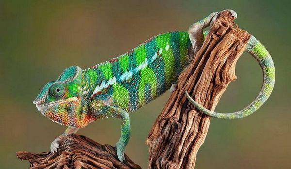 Celebration of color - panther chameleon