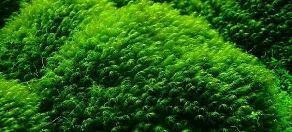 Prosta roślina dla każdego początkującego - mech feniks