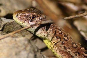 Slick lizard у дома