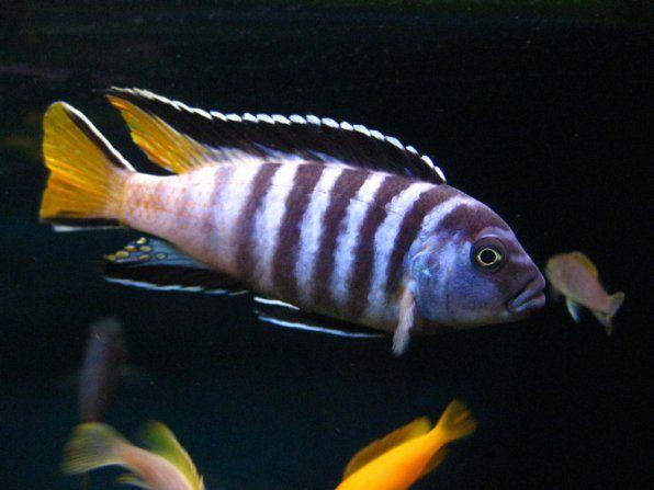 Pseudotrophyus elongatus zdjęcie mpanga