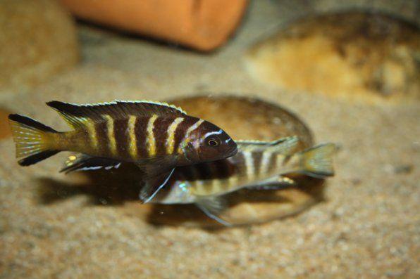 Pseudotrophyus elongatus chailosi zdjęcie