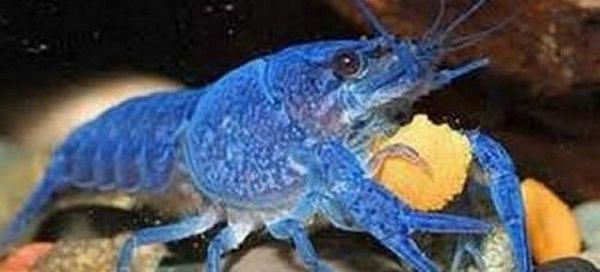 Рак в аквариума: 9 от най-разпространените видове аквариум!