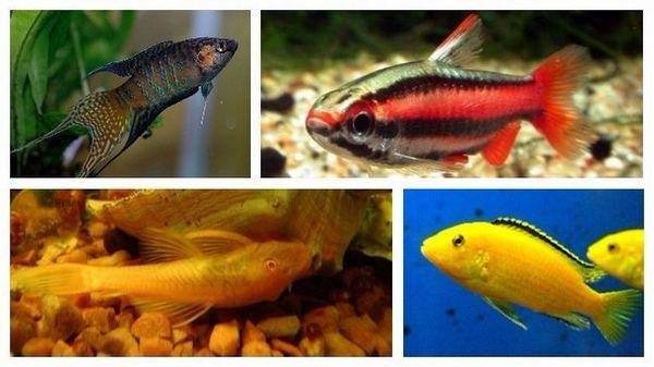 різновиди рибок для акваріума