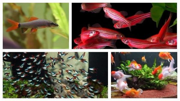 Види акваріумних рибок