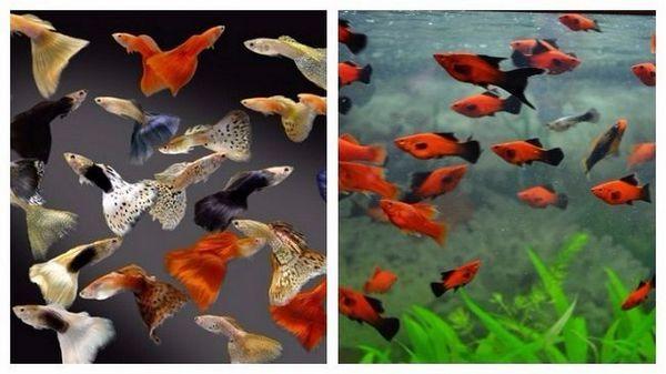 популярні види акваріумних рибок