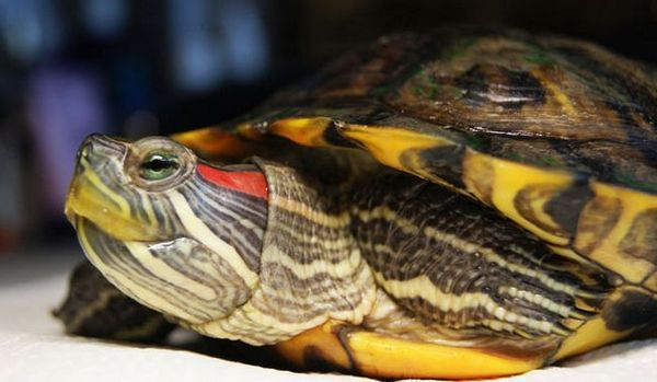 Чести заболявания на ушите костенурки и тяхното лечение