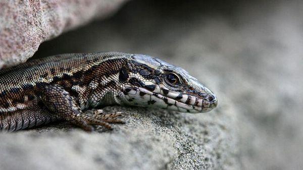 Сортове гущери: как изглеждат влечугите в зависимост от вида