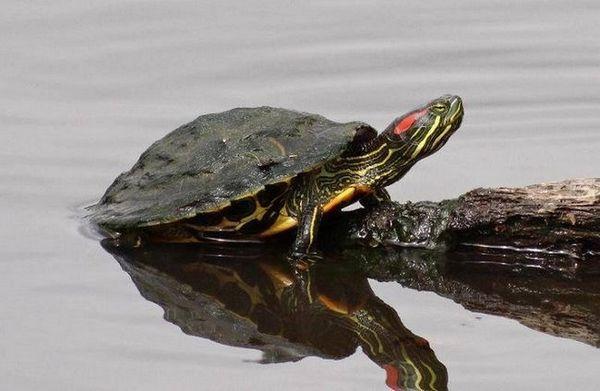 Сортове водни и сухоземни костенурки за поддръжка на дома