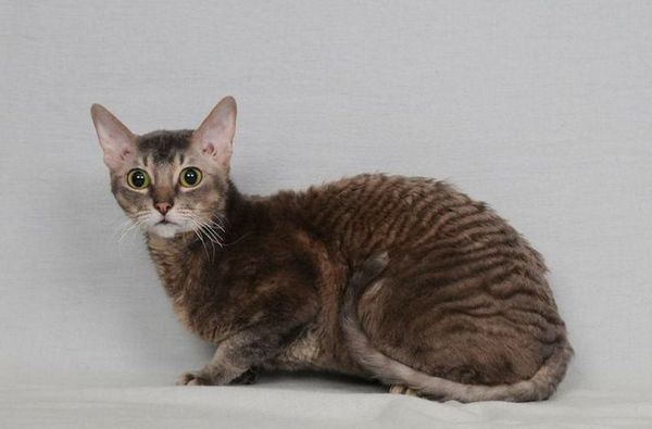 Редка порода котки - немски рекс