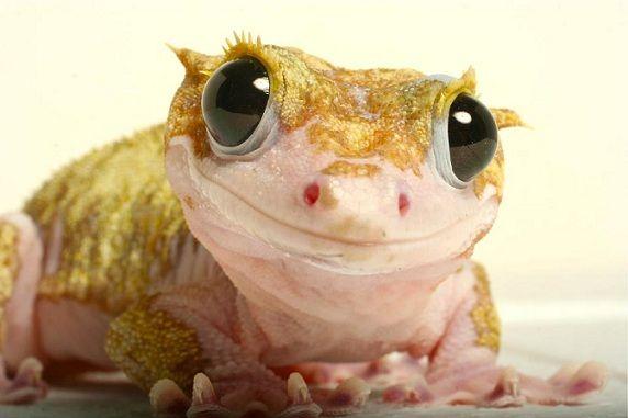 Ciliated zjadacz bananów - rzadki gekon
