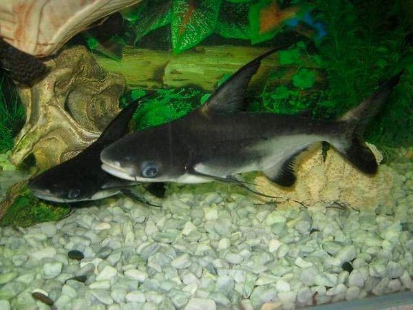 акулячий сомик