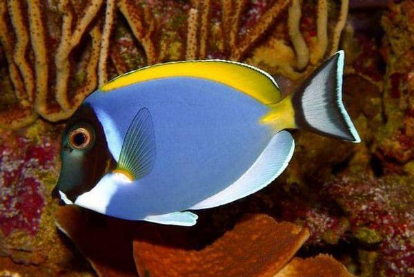 рибка хірург